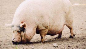 porkbelly